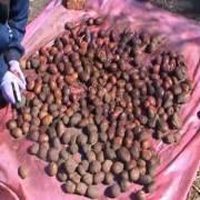 Защита картофеля от жуков-вредителей перед посадкой