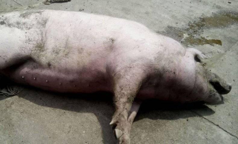 Чума свиней: симптомы и последствия