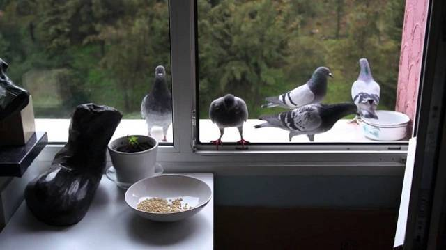 Как избавиться от голубей?