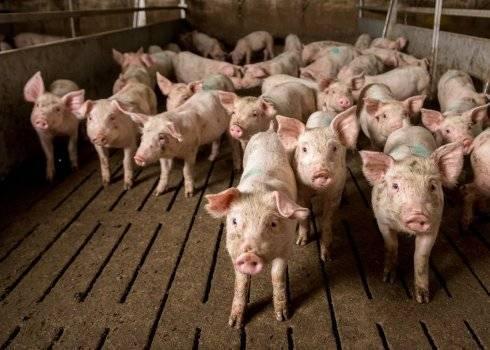 Кастрация свиней своими руками. как кастрировать поросенка?