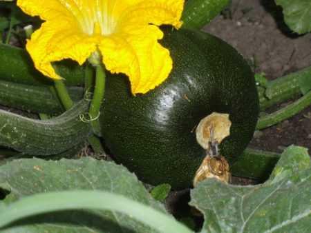 Как вырастить кабачок сорта удалой?