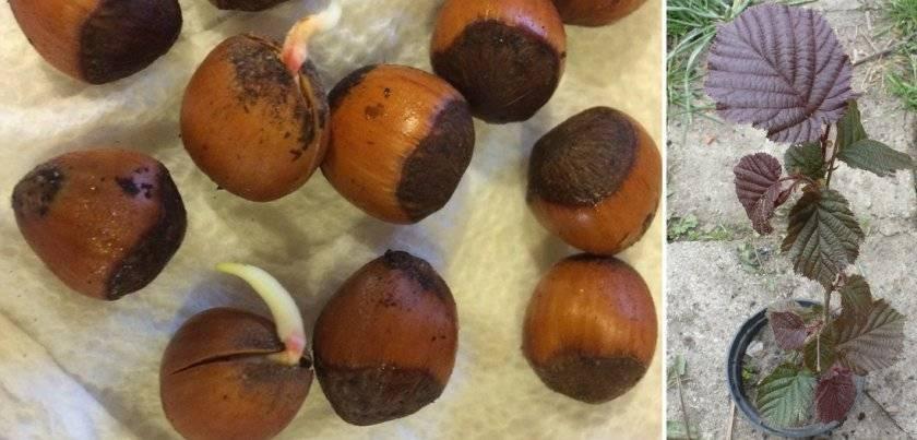 Как вырастить дерево из грецкого ореха: посадка и уход в домашних условиях и открытом грунте