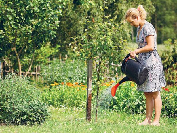 Груша августовская роса: непритязательная красавица в саду
