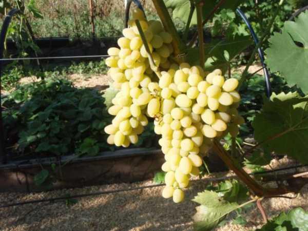 Амурский виноград: фото, посадка и уход