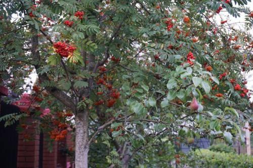 Гранатовая рябина — ягоды грибы