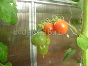 Чем подкармливать помидоры в теплице, чтобы был хороший урожай