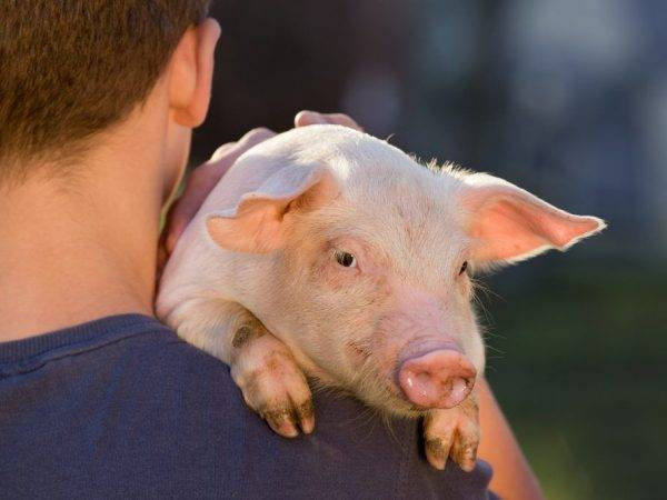 Как высчитать вес свиньи