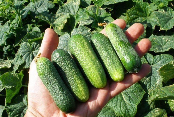 Тонкости выращивания, описание и характеристика огурцов луховицкие
