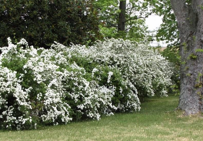Описание и особенности выращивания спиреи сорта грефшейм