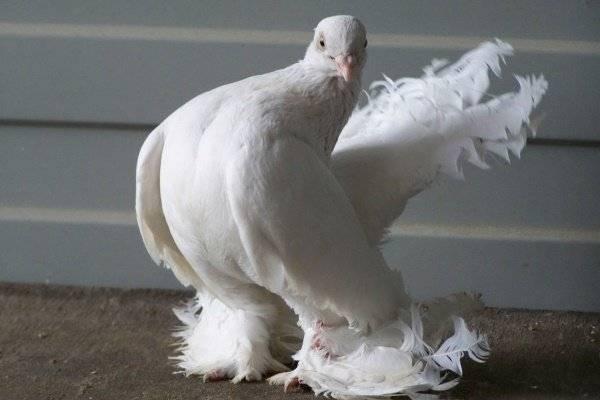 Статные голуби — википедия