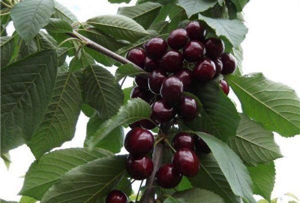 Романтичная ягода: подборка самых вкусных сортов черешни для средней полосы россии