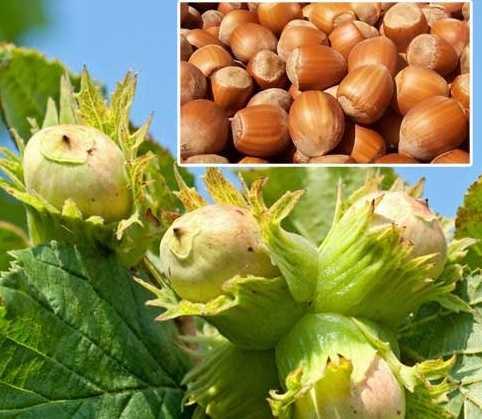 Орехи фундук: польза и вред для организма | пища это лекарство