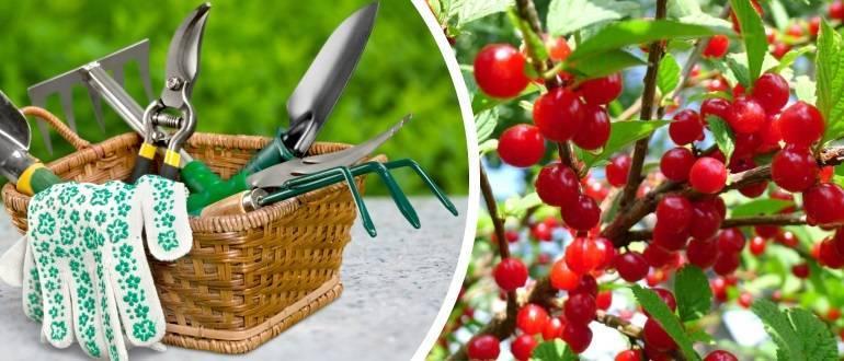 Войлочная вишня: фото и описание сорта, размножение, выращивание и уход