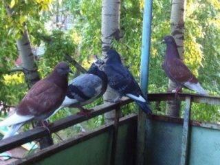 Бойные голуби иранская порода