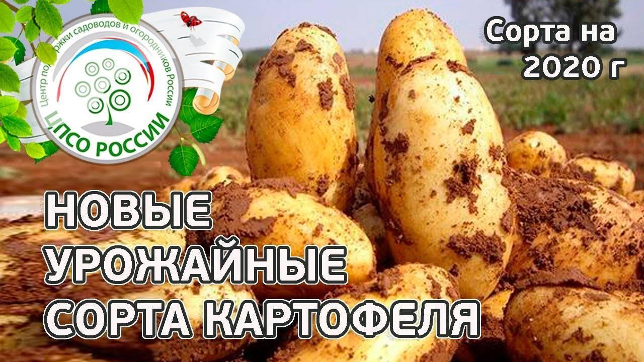 """Сорт картофеля """"родриго"""""""