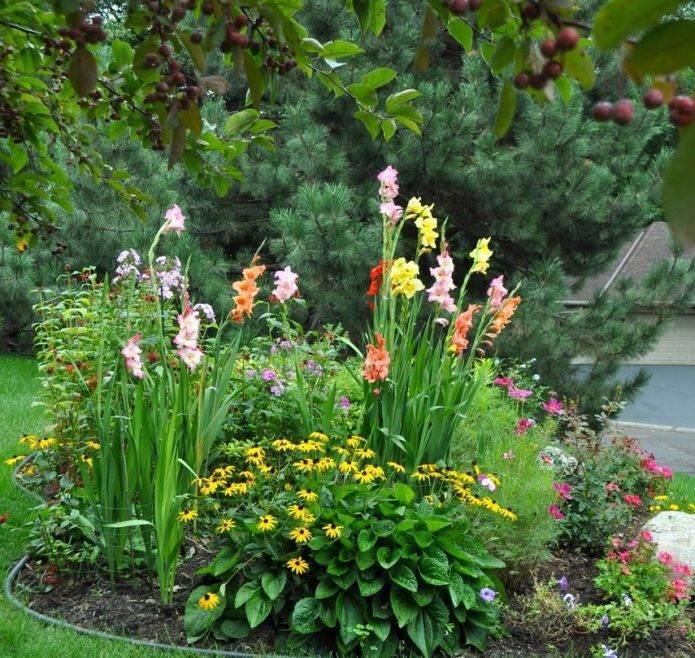 Как сажать гладиолусы в клумбу с другими цветами на садовом участке