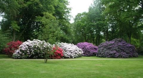 Рододендрон катевбинский (азалия многоцветковая): уход в саду