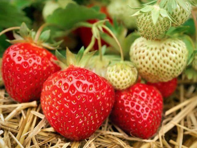 Клубника полка: описание сорта, фото, отзывы садоводов, урожайность