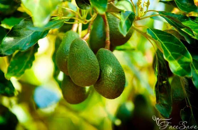 Масло авокадо - полезные и опасные свойства