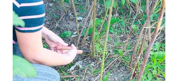 Способы борьбы с порослью вишни