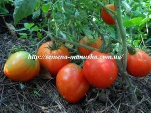 Томат гулливер: отзывы, фото, урожайность
