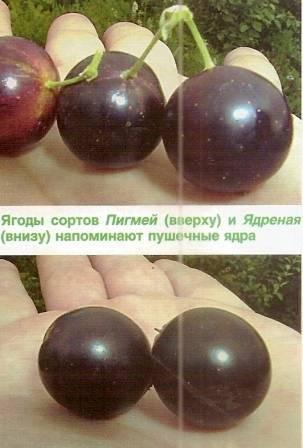 Красная смородина андрейченко — основные характеристики