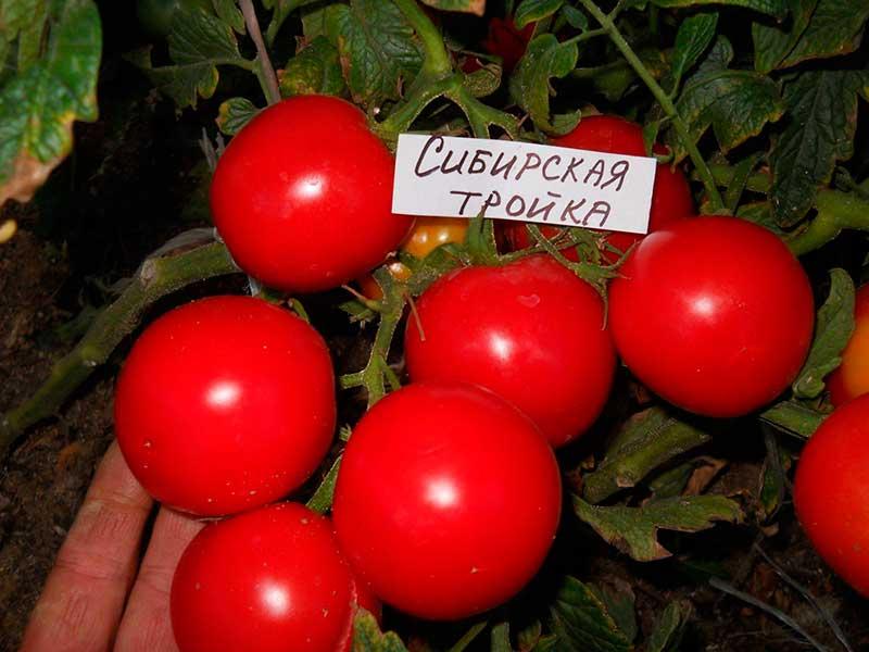 Томат сибирская тройка: описание сорта и 10 шагов агротехники