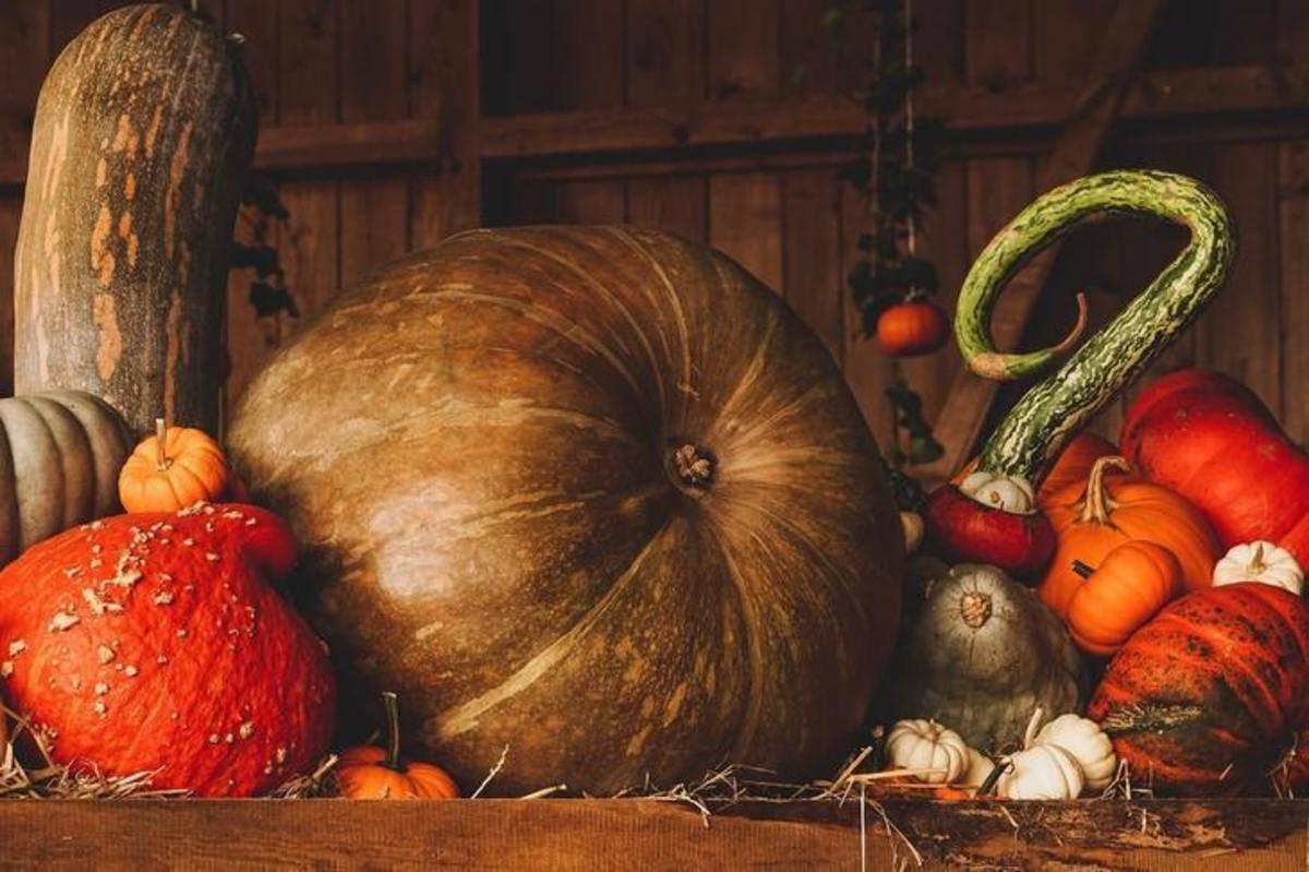 Тыква без рассады: нехлопотный способ получения урожая
