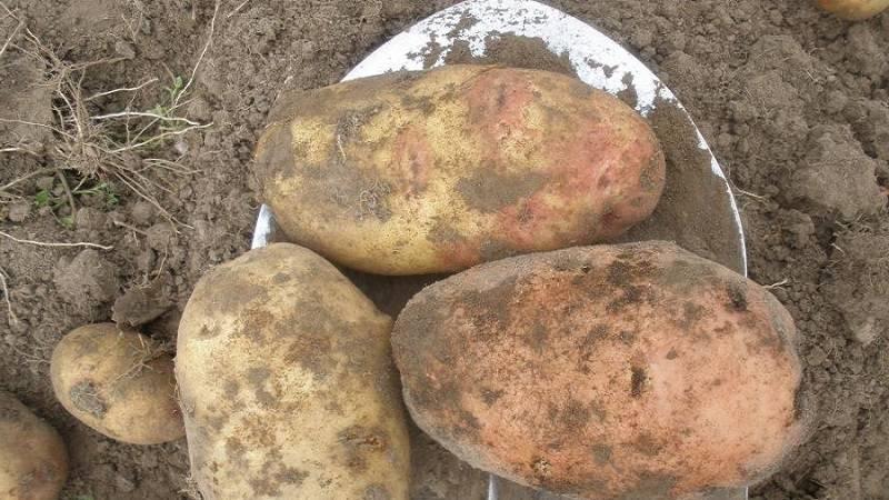 Высокоурожайный, неприхотливый столовый сорт картофеля «инноватор»