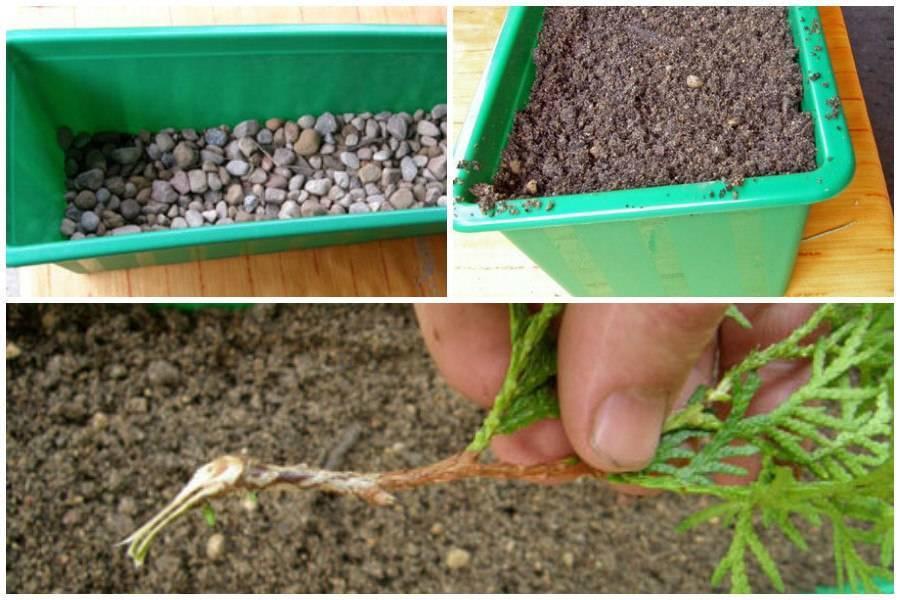 Как размножаются хвойные деревья
