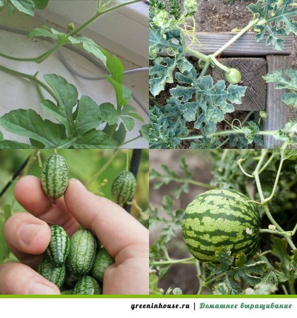 5 хитростей, которые помогут вырастить дыни