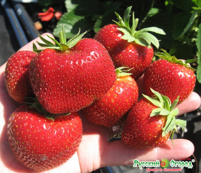 Как посадить и вырастить клубнику-землянику сорта «пандора»
