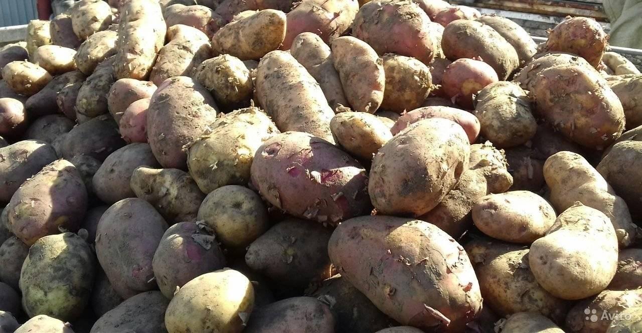 Картофель лапоть: описание сорта с фото, правила выращивания