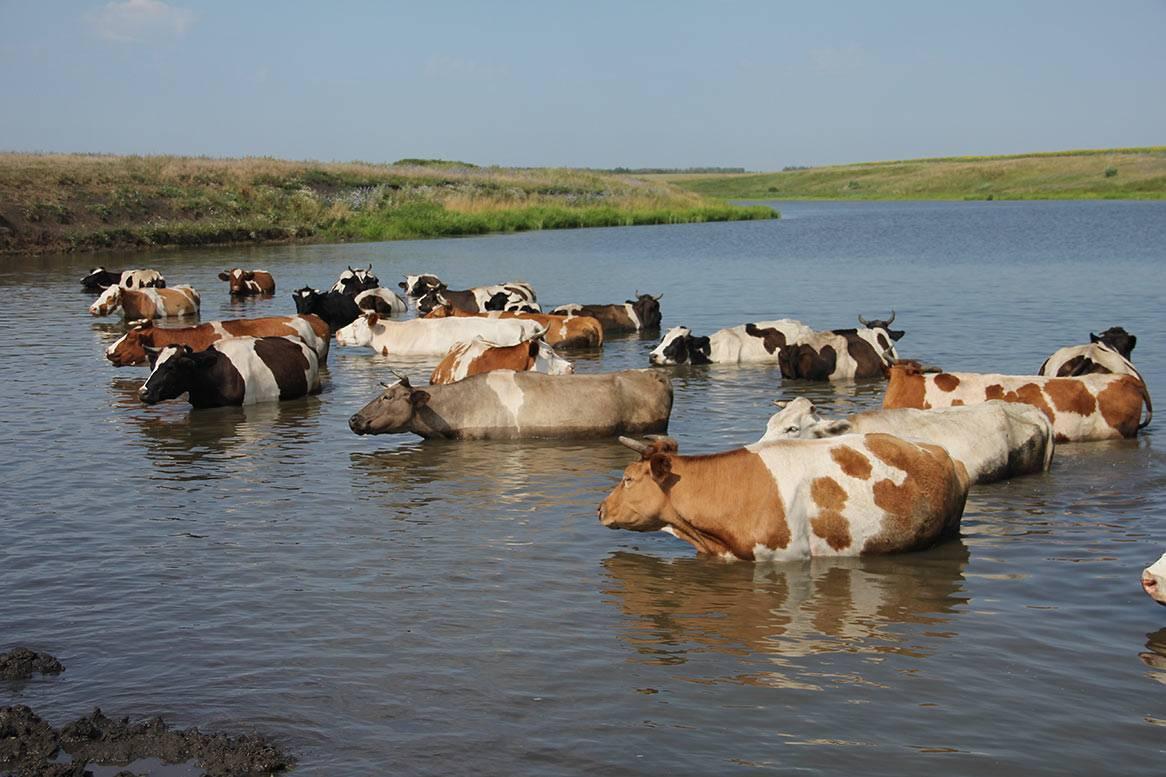 Паразитарные болезни у коров и их лечение