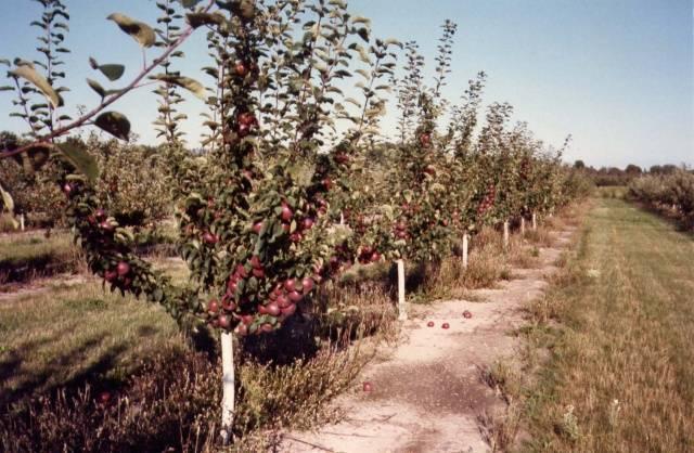 Посадка саженцев яблонь: осень или весна?