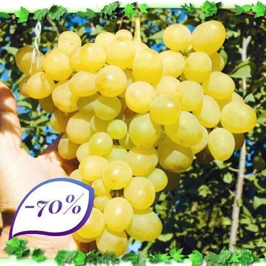 """Описание и особенности винограда сорта """"амурский"""": целебные свойства, посадка, уход, обзор отзывов"""