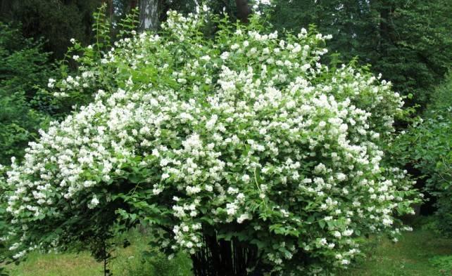 Чубушник монблан в саду - от посадки до ухода