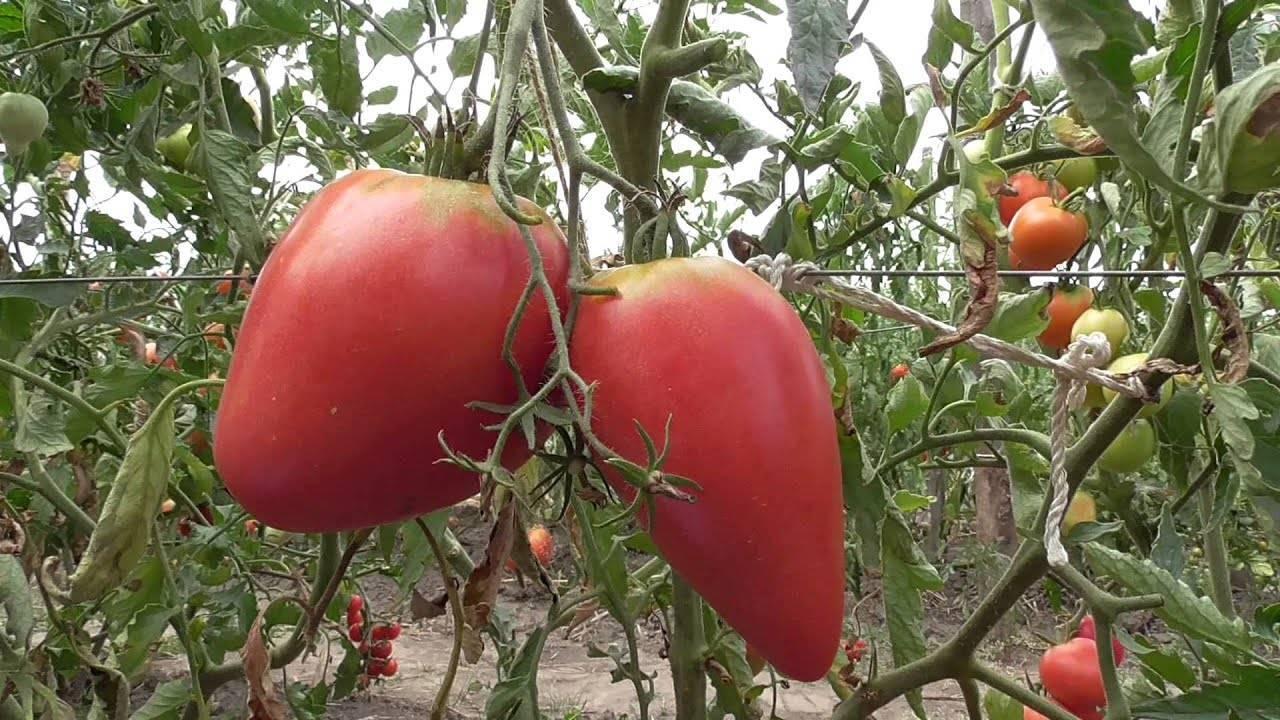 Обзор высокорослых сортов помидоров для теплиц и грядок