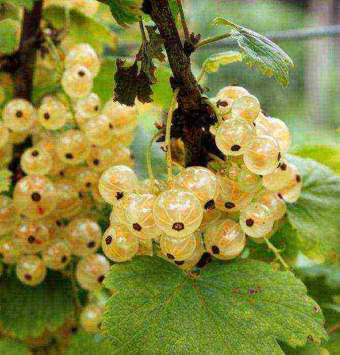 Крупноплодные сорта смородины
