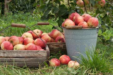 Советы о том, как хранить яблоки в погребе