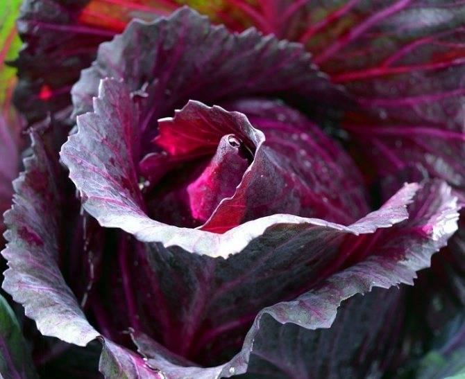 Тушеная капуста: польза и возможный вред | польза и вред