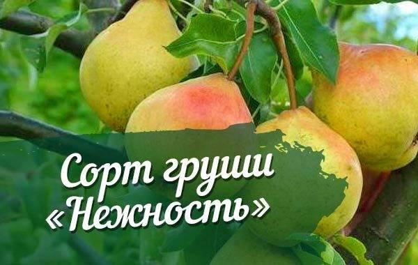 Груша московская ранняя: описание сортовых особенностей и правила посадки и ухода