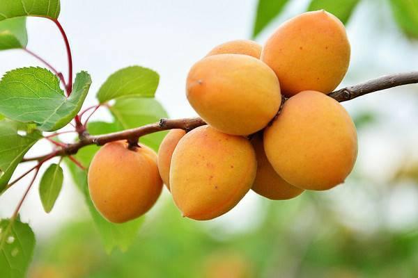 Описание сорта абрикосов манитоба, урожайность, посадка и уход