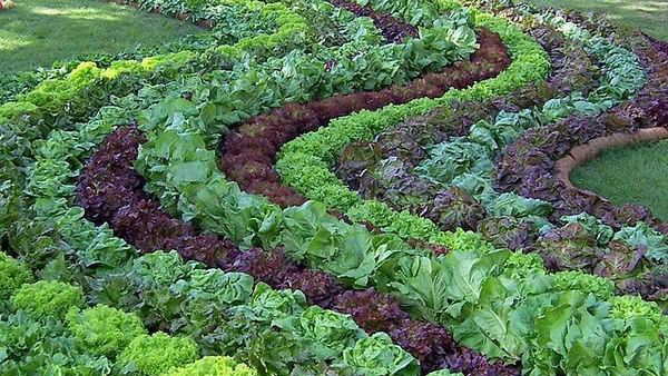 Выбираем соседей на овощной грядке