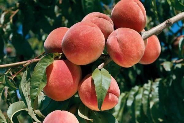 Курчавость листьев персика.