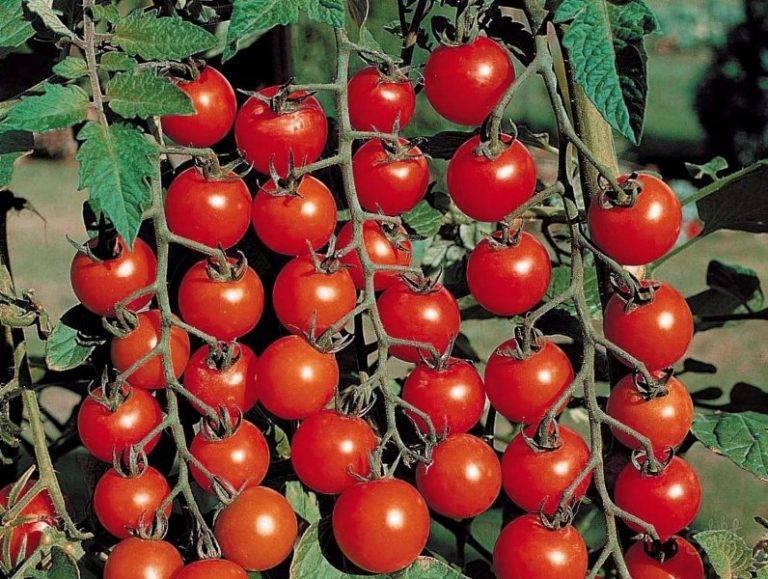 Помидоры черри выращивание в теплице