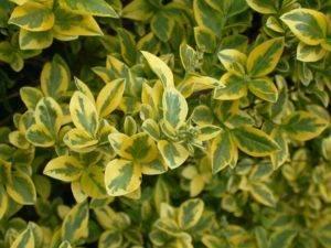 Бирючина обыкновенная и другие виды растения