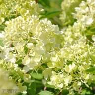 Гортензия розовая — как ухаживать за розовой гортензией в саду