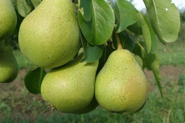 Особенности груши сорта ноябрьская