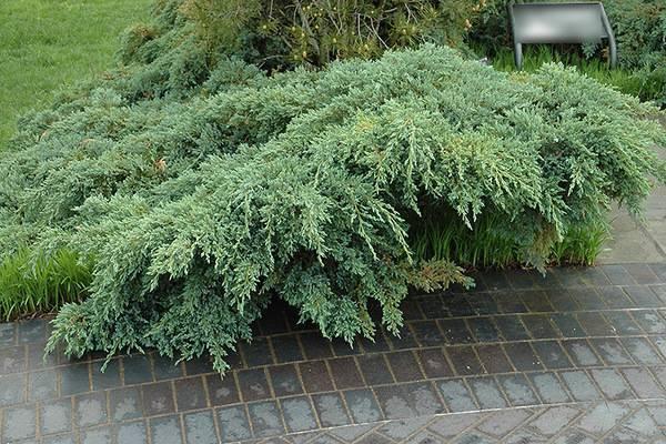 Можжевельник блю карпет (blue carpet) - выращивание самого популярного сорта